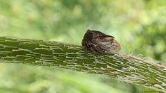 Eine kleine ...Dornzikade...Centrotus cornutus...