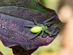 Eine kleine Hübsche: Ein Weibchen der Grünen Huschspinne (Micrommata virescens).