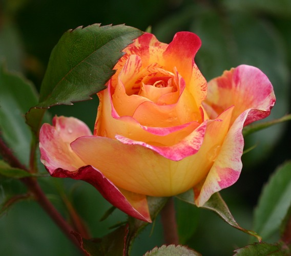 Eine kleine Rosenschönheit...