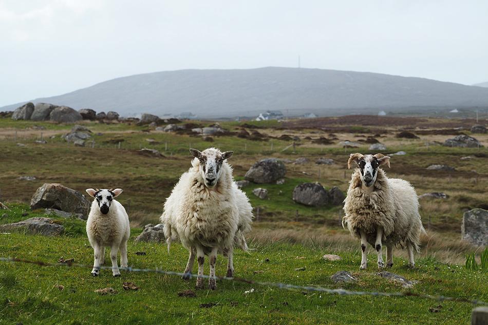 Eine kleine Schafs-Familie auf South Uist