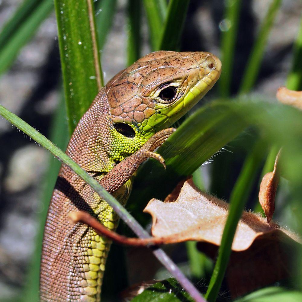 Eine kleine Smaragdeidechse (Lacerta bilineata), jung und unerfahren!