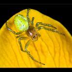 Eine kleine Spinne