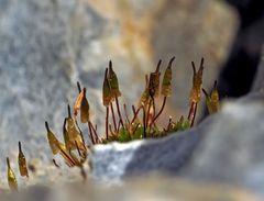 Eine kleine Sporen-Gemeinschaft des Glockenhutmooses! *