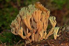 Eine Koralle im Wald