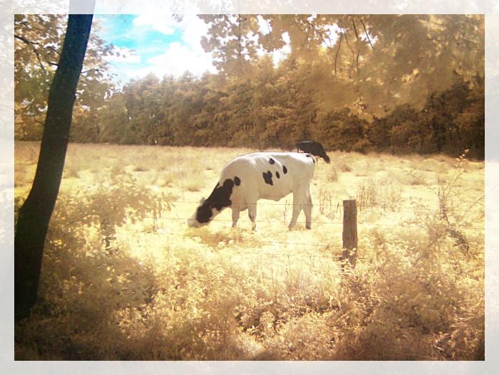 Eine Kuh macht muh, viele Kühe machen Mühe...