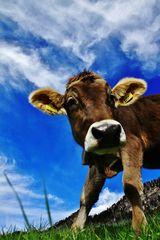 eine Kuh macht muh , viele Kühe machen Mühe !