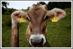 ...eine Kuh macht muuuh, viele Kühe machen...