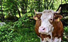 Eine Kuh steht im Wald auf der Saletalm