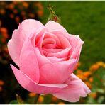 eine letzte Rose.....