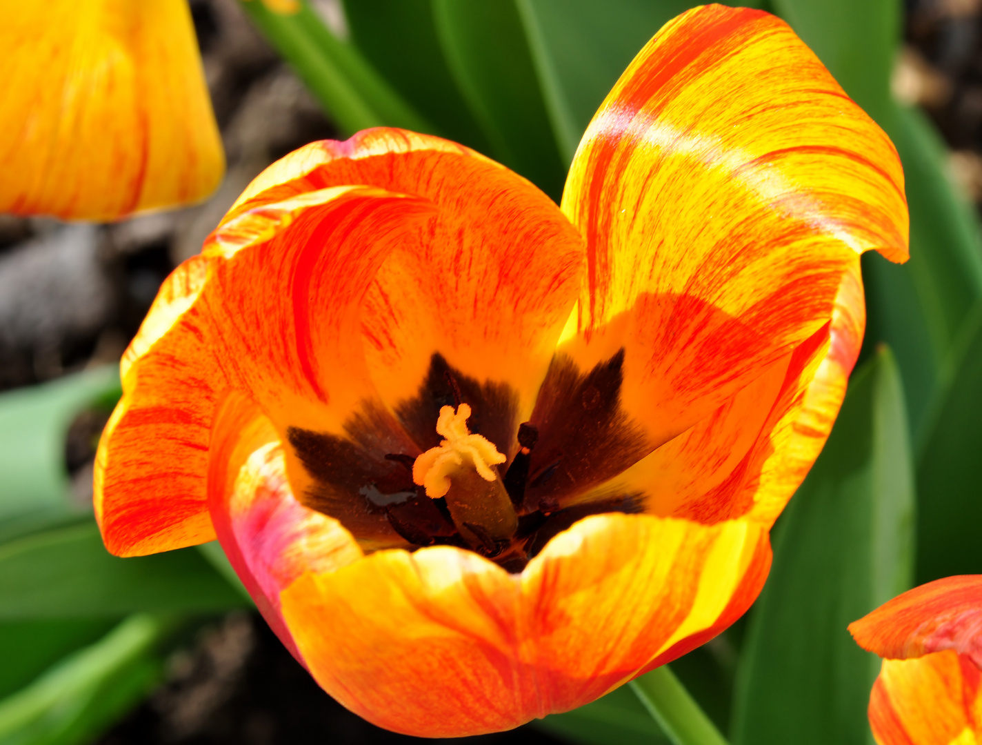 Eine letzte Tulpe in dieser Saison