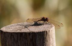 Eine Libelle