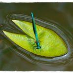 Eine Libelle auf einem Blatt