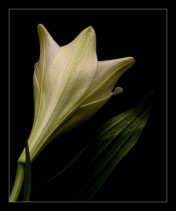 Eine Lilie...