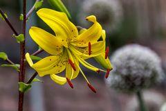 Eine Lilie in gelb