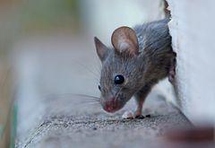 Eine Maus im Gerätehaus