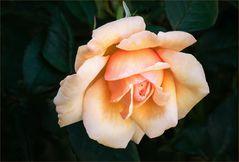 Eine meiner liebsten Englischen Rosen....