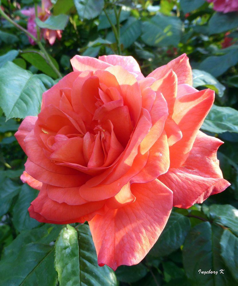 Eine meiner schönsten Rosen