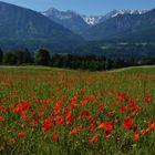 Eine Mohn Blüten Wiese mit schöner Aussicht...