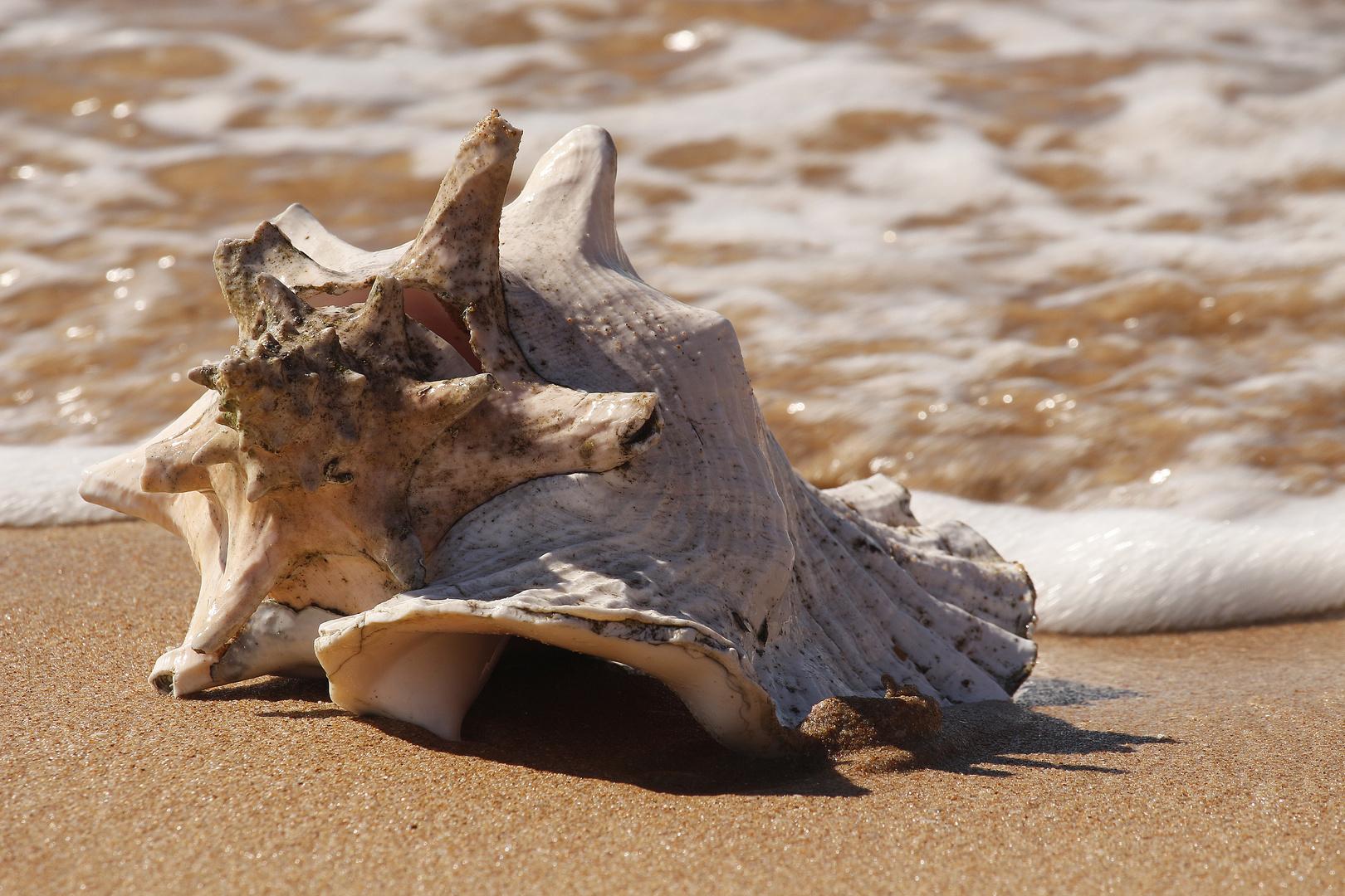 Eine Muschel Am Strand Foto Bild Landschaft Meer