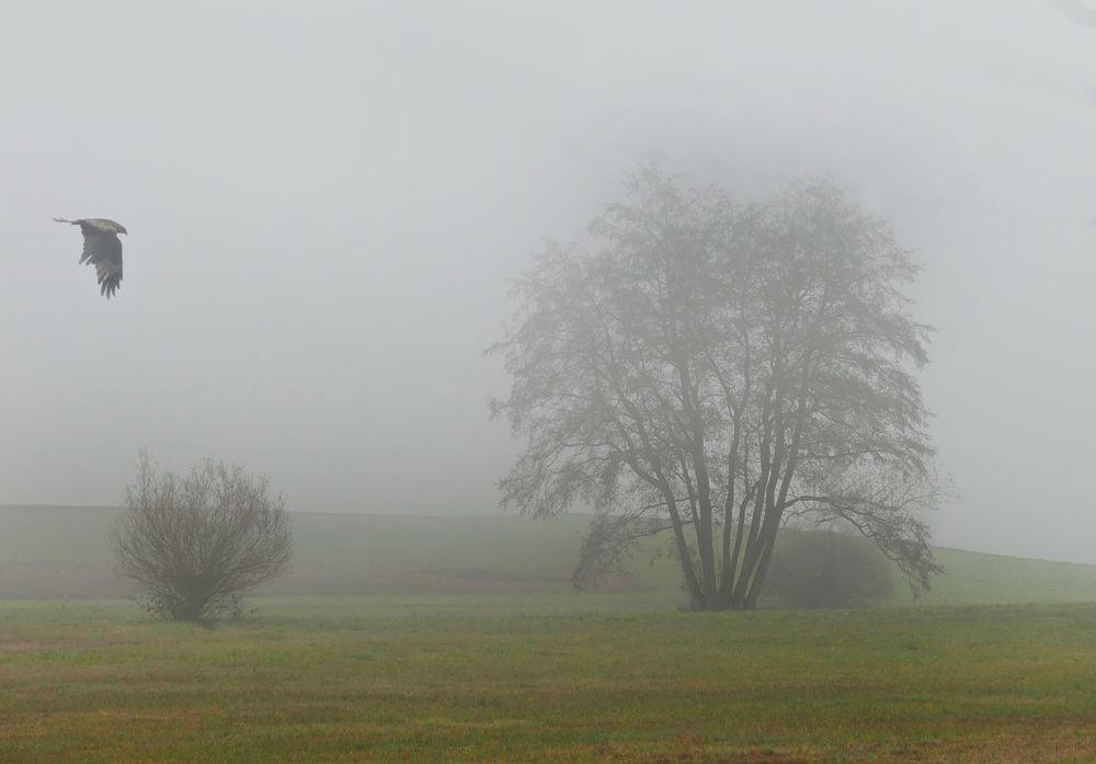 Eine Nebelkrähe