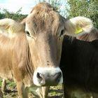 Eine nette bayrische Kuh
