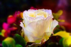 Eine neue Rosenart....