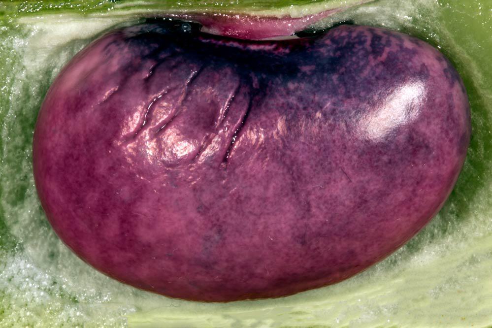 eine Niere ist das nicht ... Phaseolus coccineus
