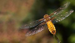 eine plattbauch-libelle ( weiblich )