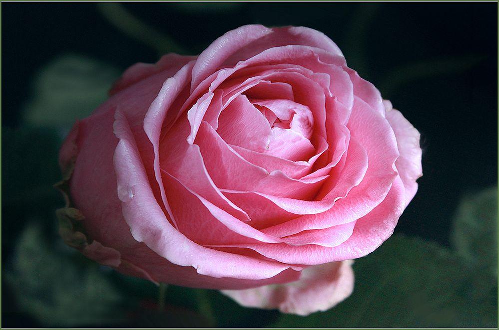 Eine prächtige Rose