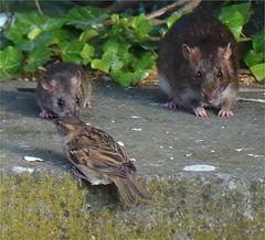 Eine Rattenmutter ...