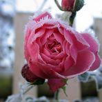 """Eine """"Reif"""" Rose"""