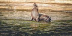 Eine Robbe beim Sonnen