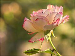 Eine Rose ..