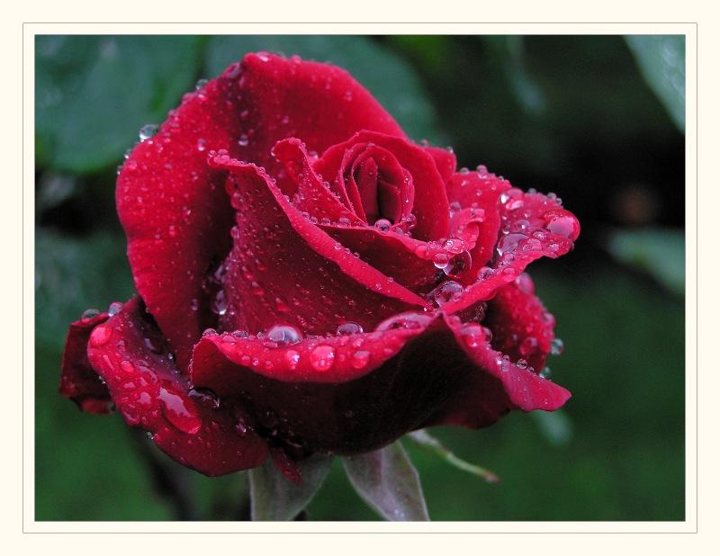 eine Rose #10025