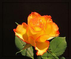 .. eine Rose ..
