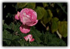 Eine Rose......