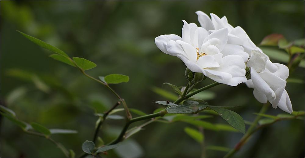 eine Rose ...!