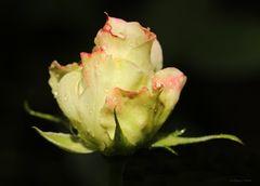 Eine Rose............