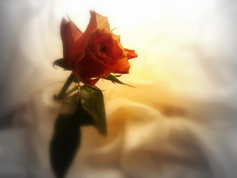 eine rose foto bild spezial orange vase bilder auf fotocommunity. Black Bedroom Furniture Sets. Home Design Ideas