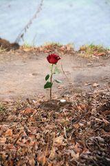 Eine Rose an der Steilküste