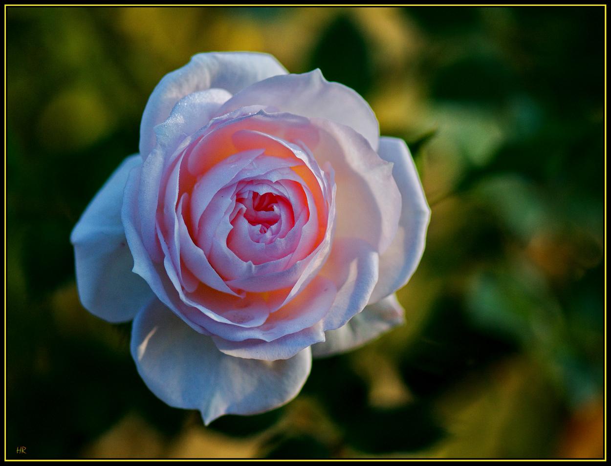 Eine Rose auf dem Grab meines Schulfreundes Jochen