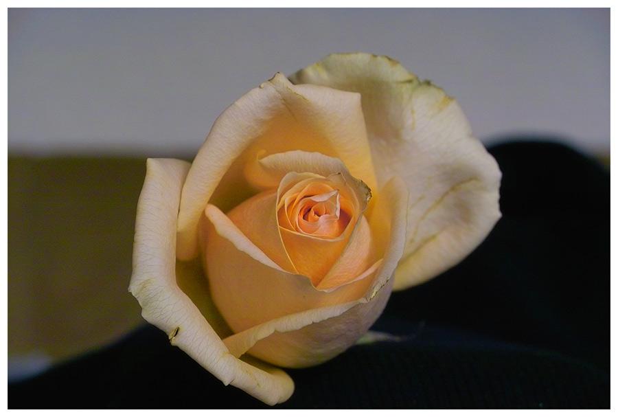 Eine Rose auf dem Tisch