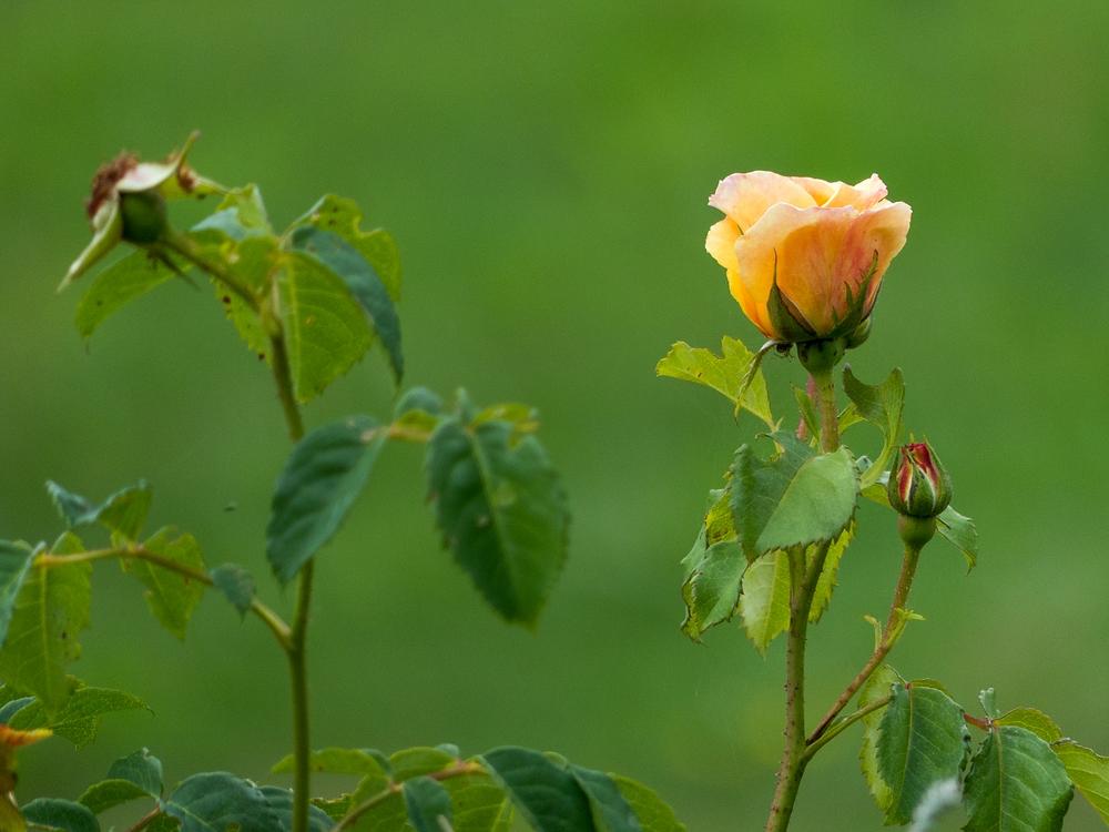 Eine Rose auf der Sonnenalm