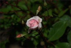 Eine Rose aus Madrid IV