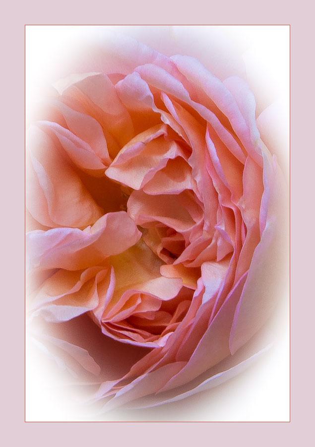 eine Rose aus unserem Garten