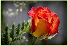 eine  ROSE....