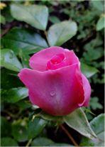 eine Rose den Gewinnern