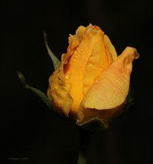 Eine Rose.........