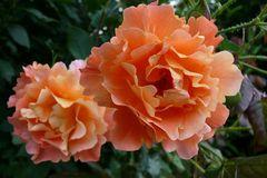 Eine Rose fasziniert in jeder Farbe