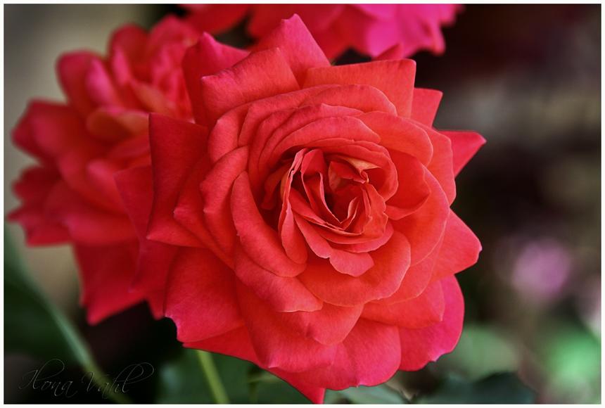 Eine Rose